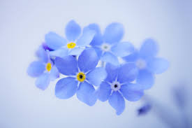 Forget me nots4